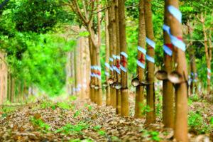 Cập nhật cổ phiếu PHR - Cao su gặp khó kỳ vọng nhiều vào việc chuyển nhượng đất